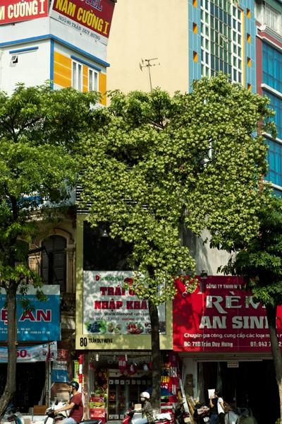 Ngắm những góc phố Hà Nội tràn ngập hoa sữa ảnh 9