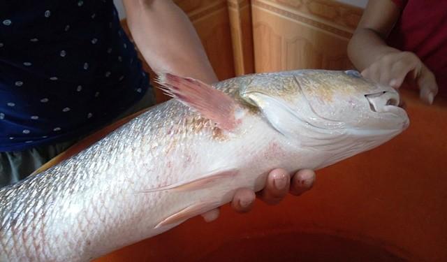 Con cá sủ vàng nặng 2,8 kg, dài khoảng 50 cm