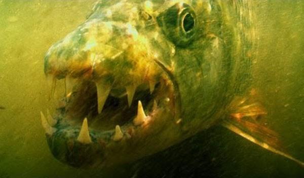 Thú kinh dị của dân chơi Hà Nội: Nuôi thủy quái hổ Congo ảnh 4