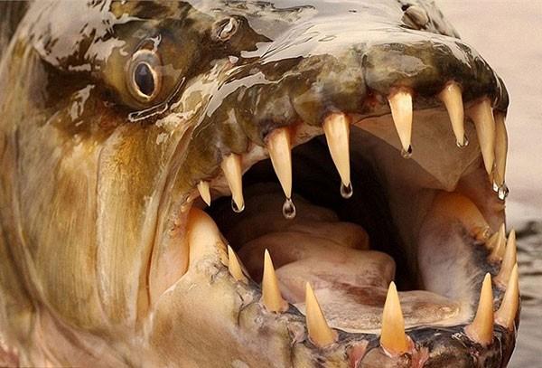 Thú kinh dị của dân chơi Hà Nội: Nuôi thủy quái hổ Congo ảnh 1