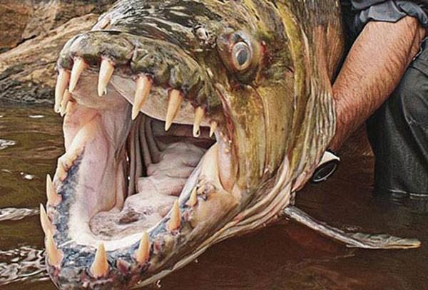Thú kinh dị của dân chơi Hà Nội: Nuôi thủy quái hổ Congo ảnh 8