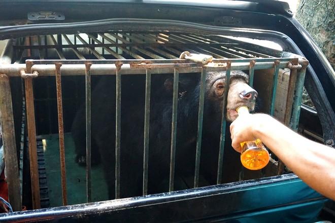 Chuyển giao một cá thể gấu ngựa nuôi nhốt bất hợp pháp tại Phúc Thọ