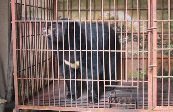 Giải thoát con gấu ngựa nặng 2 tạ bị nuôi nhốt trái phép