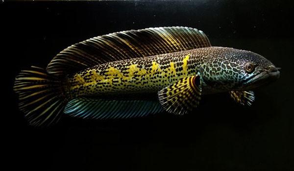 Ngỡ ngàng ngắm cá quả hoàng đế giá nghìn USD tại Hà Nội ảnh 3