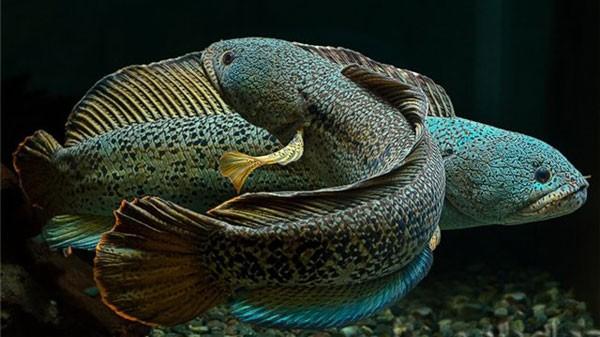 Ngỡ ngàng ngắm cá quả hoàng đế giá nghìn USD tại Hà Nội ảnh 2
