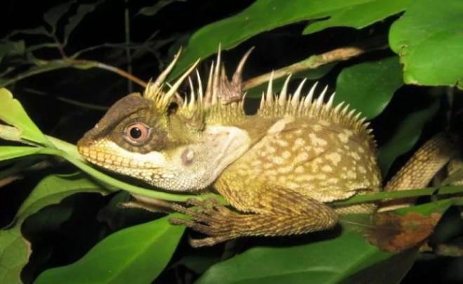 Loài thằn lằn giống rồng được phát hiện ở Phuket, Thái Lan - Ảnh: WWF