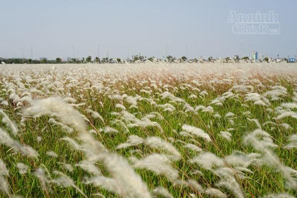 Xuất hiện bãi cỏ lau khổng lồ, đẹp như tranh ngay sát Hà Nội ảnh 1