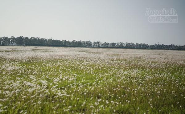 Xuất hiện bãi cỏ lau khổng lồ, đẹp như tranh ngay sát Hà Nội ảnh 9