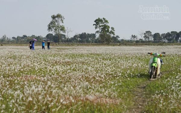 Xuất hiện bãi cỏ lau khổng lồ, đẹp như tranh ngay sát Hà Nội ảnh 7