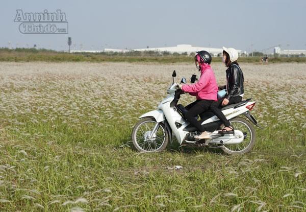 Xuất hiện bãi cỏ lau khổng lồ, đẹp như tranh ngay sát Hà Nội ảnh 6