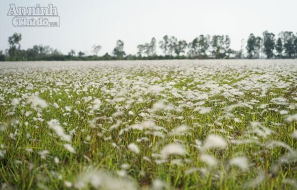 Xuất hiện bãi cỏ lau khổng lồ, đẹp như tranh ngay sát Hà Nội ảnh 4