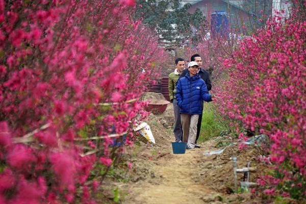 Vườn đào Nhật Tân nở sớm quá nên việc lựa chọn một cây ưng ý chơi Tết không dễ