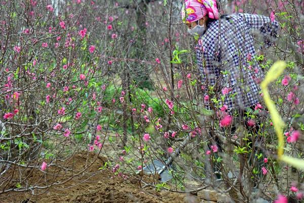 Đào bung nở sớm: Hoa cười rực rỡ, người cười... xót xa ảnh 6