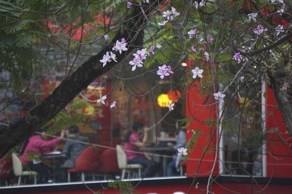 Dáng hình cô gái Thái trong loài hoa ban trên đường Hà Nội ảnh 13