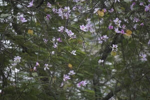 Hoa ban loài cây thân gỗ có nguồn gốc từ vùng cao Tây Bắc, đặc biệt mọc nhiều ở Sơn La. và Điện Biên