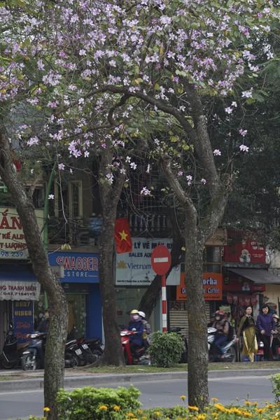 Dáng hình cô gái Thái trong loài hoa ban trên đường Hà Nội ảnh 2