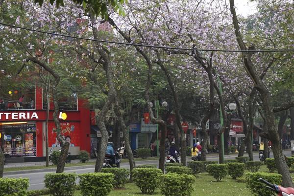 Dáng hình cô gái Thái trong loài hoa ban trên đường Hà Nội ảnh 8
