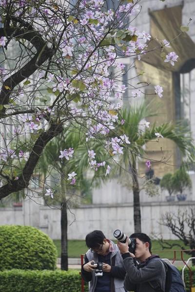 Dáng hình cô gái Thái trong loài hoa ban trên đường Hà Nội ảnh 10