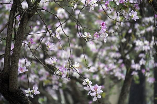 Dáng hình cô gái Thái trong loài hoa ban trên đường Hà Nội ảnh 6