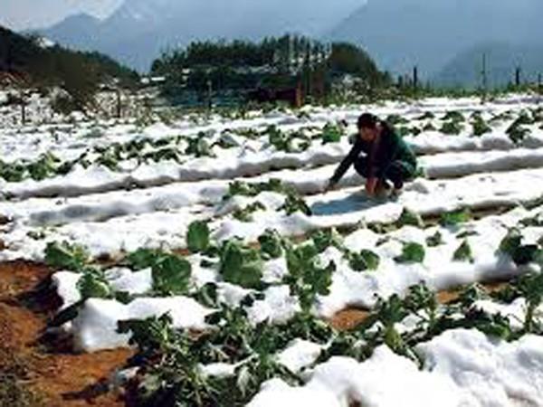 700 ha rau bị hư hỏng và 50 con trâu bị chết rét tại Lào Cai ảnh 2
