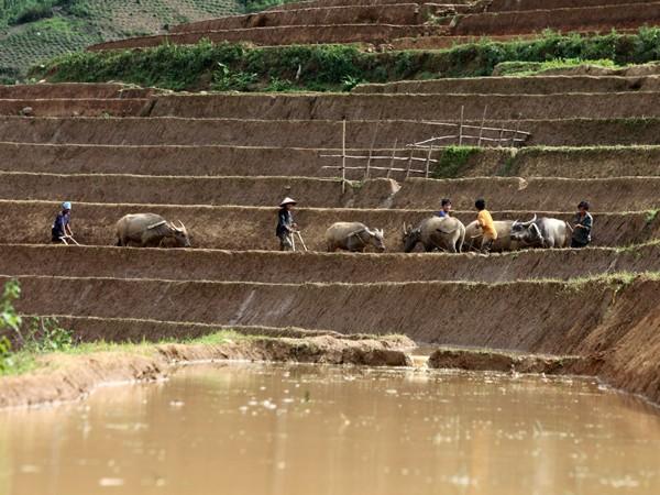 Người dân đang cày bừa để giữ nước trên những thửa ruộng bậc thang