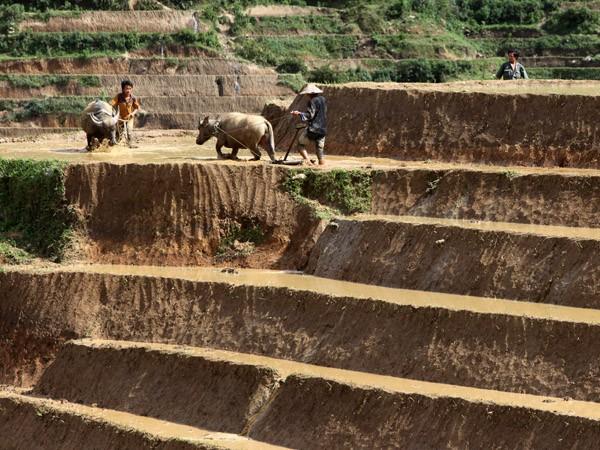 Người dân đang dồn sức lao động chuẩn bị cho một mùa vàng bội thu