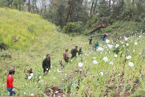 Công an tỉnh Lai Châu phá bỏ cây thuốc phiện trên nương do bà con trồng tự phát