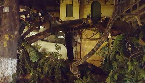 Hiện trường cây cổ thủ đổ.