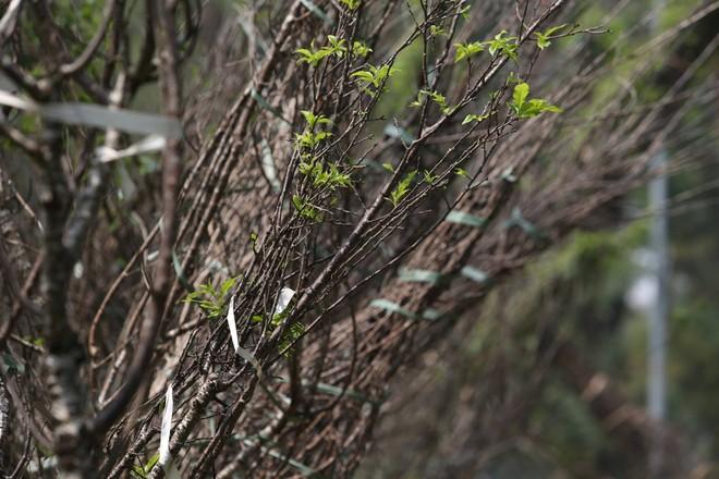 Một số cây đã đâm chồi sau một thời gian thích ứng khí hậu
