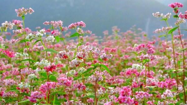 Lần đầu tổ chức Lễ hội hoa tam giác mạch tại Hà Nội