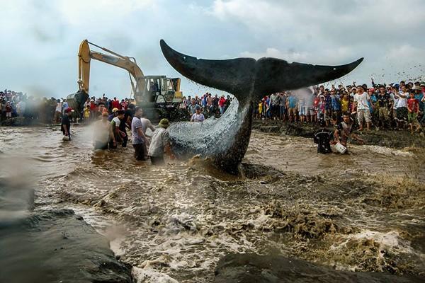 """Bức ảnh """"Giải cứu cá voi"""" của tác giả Trần Văn Yên"""