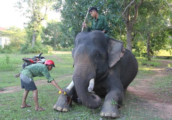 Lần đầu tiên tổ chức triển lãm voi Tây Nguyên tại Hà Nội