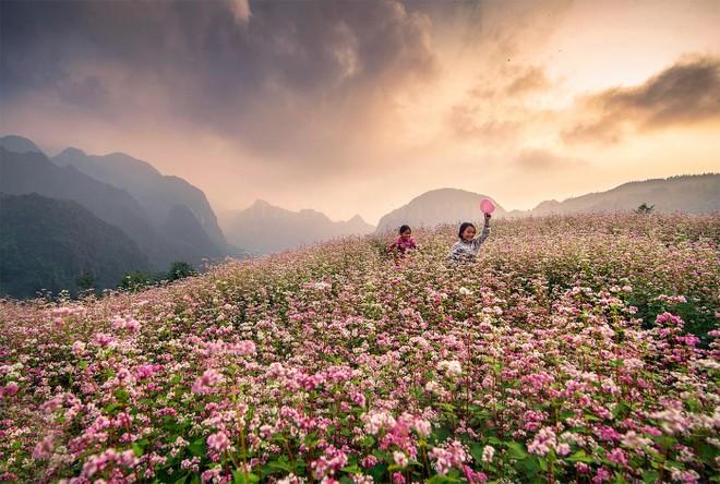 Hoa tam giác mạch là loài hoa gắn liền với đời sống của các đồng bào dân tộc