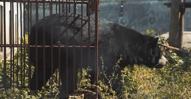 Tại Việt Nam hiện vẫn còn hơn 400 cá thể gấu bị nuôi nhốt và chích hút mật. Nguồn ảnh: ENV