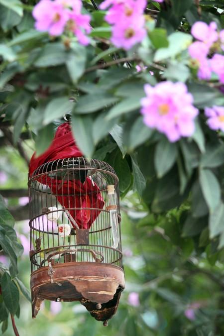 Hà Nội vào hè với sắc tím bằng lăng, đỏ phượng vĩ ảnh 4