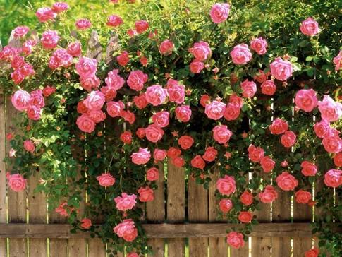 """Ban tổ chức """"Lễ hội hoa hồng Bulgaria"""" lên phương án bảo vệ 1.680 cây hoa hồng"""