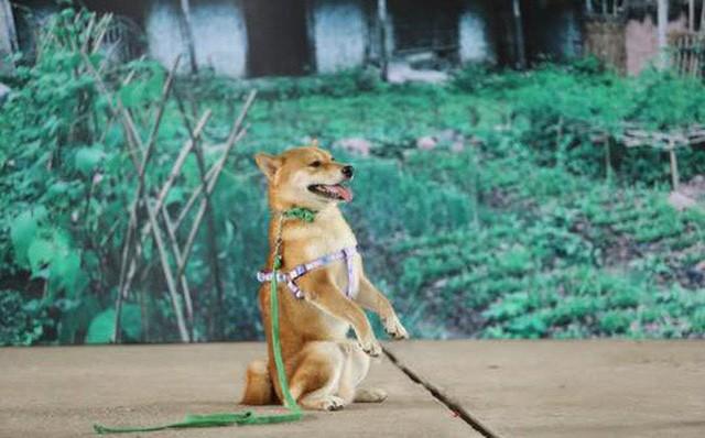 """Chú chó Shiba Inu được chọn vào vai """"Cậu Vàng"""""""