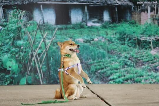 """Nhân vật chú chó giống Nhật được chọn vào vai """"cậu Vàng"""" sau khi đoàn làm phim tổ chức casting"""