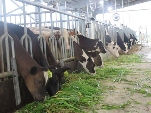 Trang trại mẫu chăn nuôi bò sữa tại Mộc Bắc (Duy Tiên, Hà Nam)