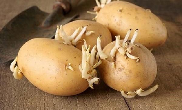 Ăn khoai tây mọc mầm có thể gây ung thư, ngộ độc nặng, chết người