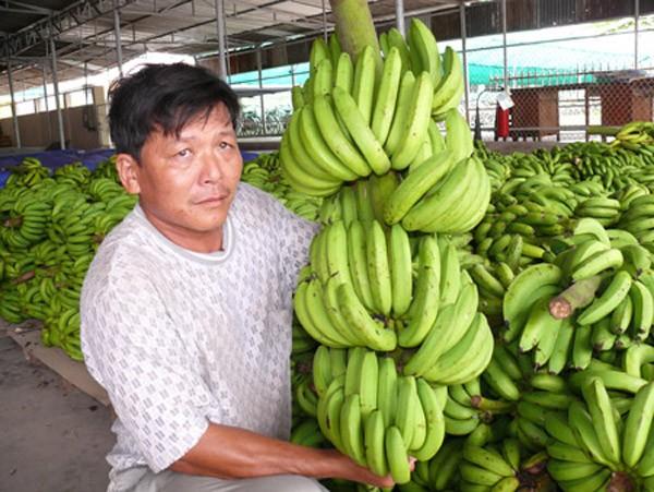 Doanh nghiệp muốn học hỏi kinh nghiệm trồng chuối xuất khẩu