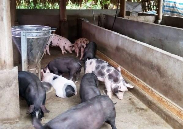Chủ động ngăn chặn dịch tả lợn châu Phi