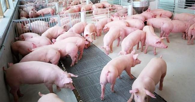 Giá thịt lợn diễn biến bất thường từ khi có dịch tả lợn châu Phi