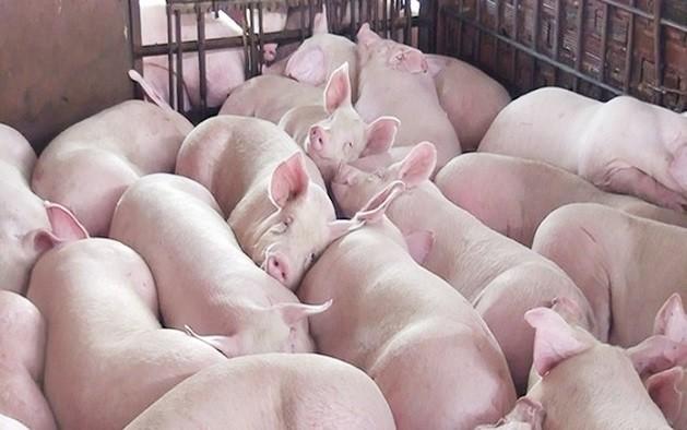 Giá lợn hơi ở các tỉnh miền Bắc tiếp tục giảm nhẹ