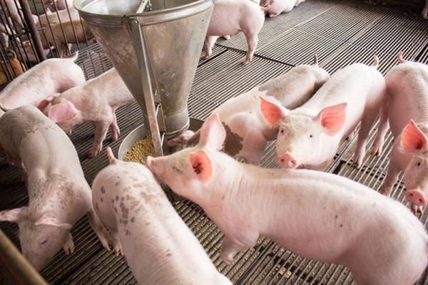 Giá lợn hơi đang trong đà tăng mạnh