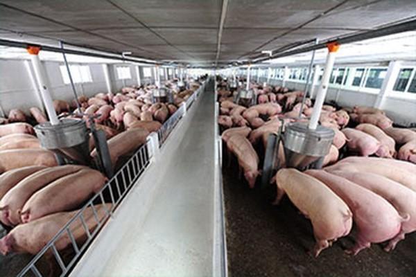 Giá lợn hơi tăng chưa có dấu hiệu dừng lại