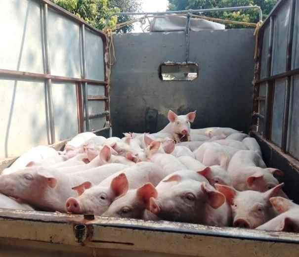 """Giá lợn hơi trong nước """"hạ nhiệt"""""""