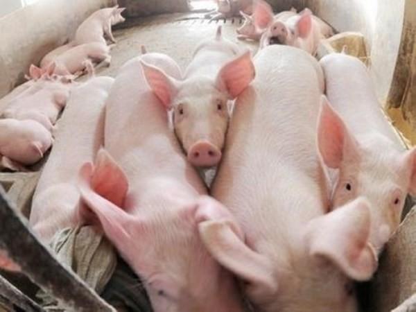 Giá thịt lợn có thể biến động nhẹ dịp Tết