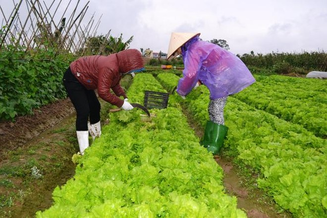 Nhiều hộ nông dân đã bị ảnh hưởng bởi thông tin thiếu chính xác