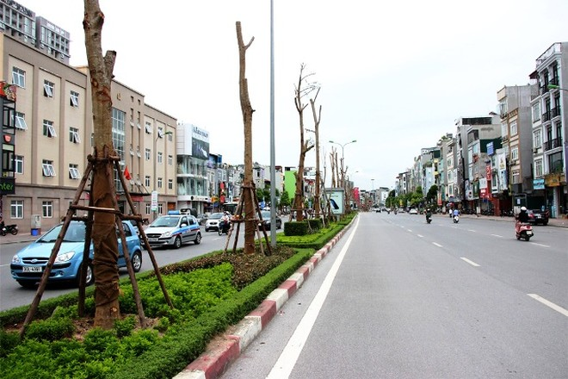 Phượng Vĩ được trồng trên dải phân cách giữa trên phố Xã Đàn (Đống Đa, Hà Nội)